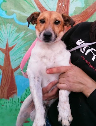 Jack Russel-Mix